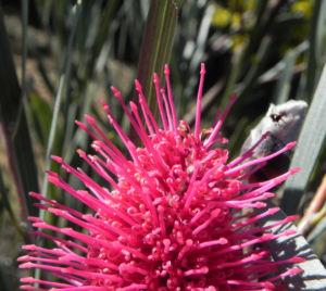 Hakea Bluete rosa Hakea grammatophylla 04