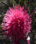 Hakea Bluete rosa Hakea grammatophylla 05