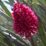 Hakea Bluete rosa Hakea grammatophylla 06