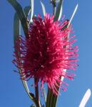 Hakea Bluete rosa Hakea grammatophylla 07