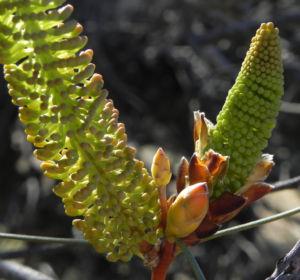 Hakea Bluetenknospe gruen Hakea bucculenta 11