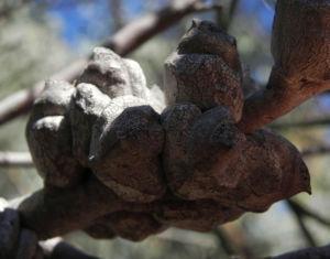 Bild: Hakea Frucht Schote grau Hakea verrucosa