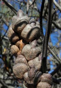 Hakea Frucht graubraun Hakea bucculenta 16