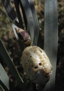 Hakea Knospe grau gruen Hakea grammatophylla 13