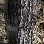 Bild: Graslaubige Hakea Grass-leaved Hakea Blüte rot weiß Rinde grau Hakea multilineata