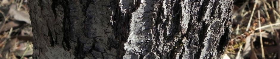 Anklicken um das ganze Bild zu sehen Graslaubige Hakea Grass-leaved Hakea Blüte rot weiß Rinde grau Hakea multilineata