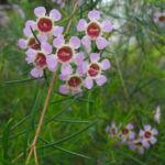 Hakige Chamelaucium Bluete rosa Chamelaucium uncinatum 04