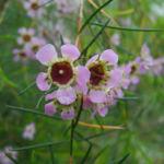 Hakige Chamelaucium Bluete rosa Chamelaucium uncinatum 05