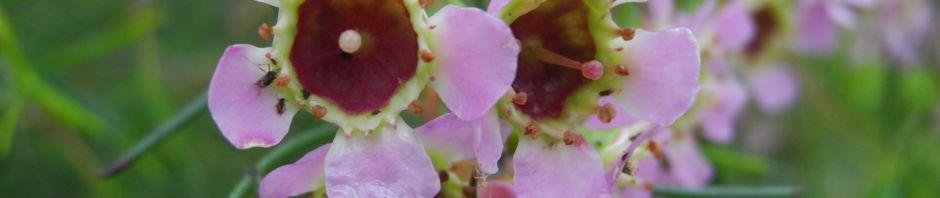 hakige-chamelaucium-bluete-rosa-chamelaucium-uncinatum