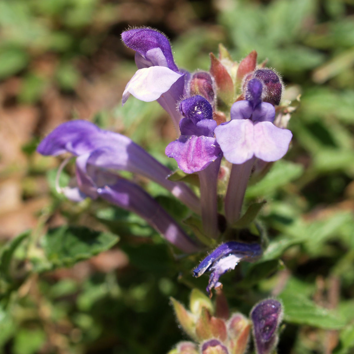 Hallers Spitzkiel Bluete weiss lila Oxytropis halleri