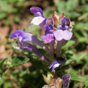 Hallers Spitzkiel Bluete weiss lila Oxytropis halleri 04
