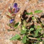 Hallers Spitzkiel Bluete weiss lila Oxytropis halleri 05