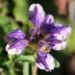 Zurück zum kompletten Bilderset Hallers Spitzkiel Seidenhaar-Spitzkiel Blüte weiß lila Oxytropis halleri