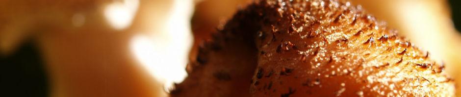 hallimasch-pilz-kappe-braun-armillaria-mellea
