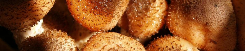 Anklicken um das ganze Bild zu sehen Hallimasch Pilz Kappe braun - Armillaria mellea