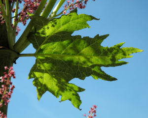 Handfoermiger Rhabarbar Blatt gruen Rheum palmatum 05