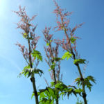 Bild: Handförmiger Rhabarber Blüte rot Rheum palmatum