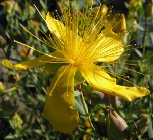 Hartheu Johanniskraut Bluete gelb Hypericum olympicum L 03