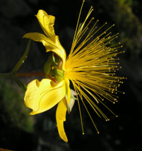 Hartheu Johanniskraut Bluete gelb Hypericum olympicum L 04