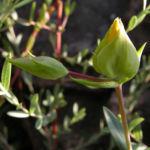 Hartheu Johanniskraut Bluete gelb Hypericum olympicum L 05