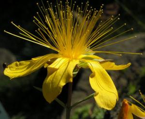 Hartheu Johanniskraut Bluete gelb Hypericum olympicum L 08