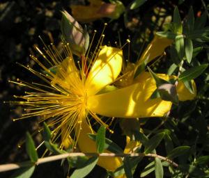 Hartheu Johanniskraut Bluete gelb Hypericum olympicum L 09