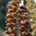 Zurück zum kompletten Bilderset Haselnussstrauch Blüte Stamm grau Corylus avellana