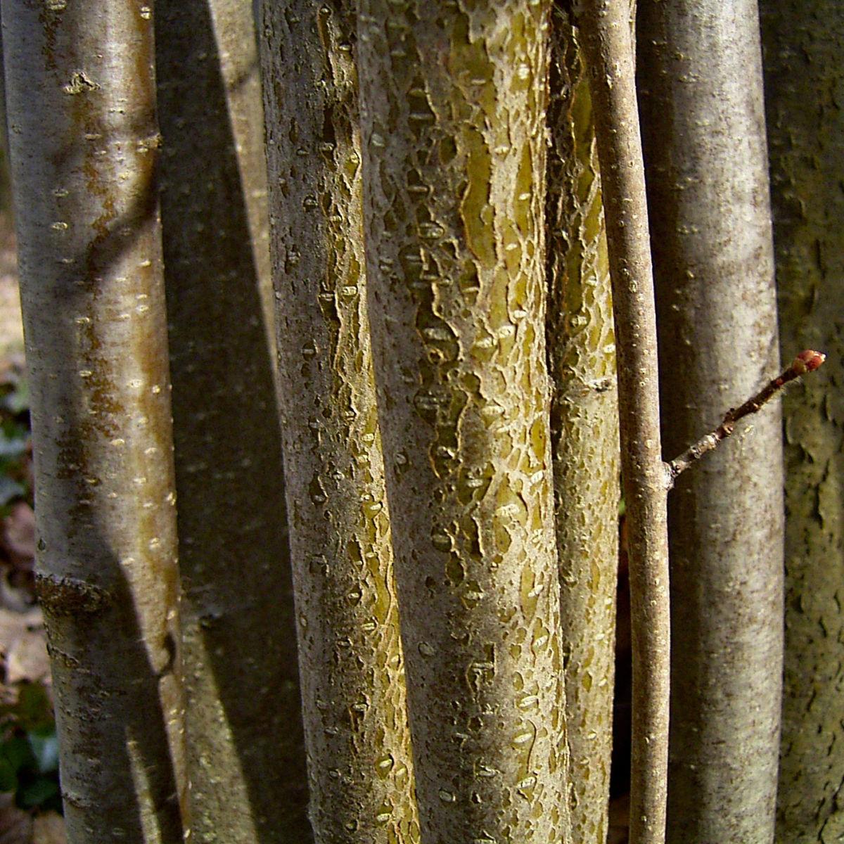 Haselnussstrauch Bluete Stamm Corylus avellana