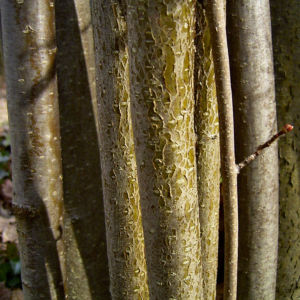 Haselnussstrauch Bluete Stamm Corylus avellana 03