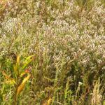 Hasen Klee Bluete weiss Trifolium arvense 01