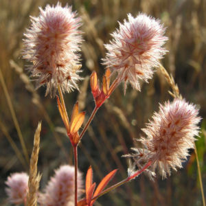 Hasen Klee Bluete weiss Trifolium arvense 03