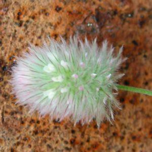 Hasen Klee Bluete weiss Trifolium arvense 05