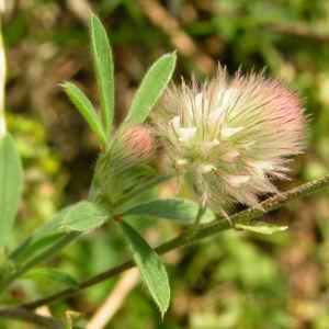 Hasen Klee Bluete weiss Trifolium arvense 06