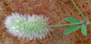 Hasen Klee Bluete weiss Trifolium arvense 07