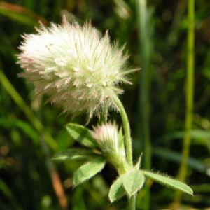Hasen Klee Bluete weiss Trifolium arvense 08