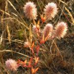 Hasen Klee Bluete weiss Trifolium arvense 10