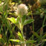 Hasen Klee Bluete Trifolium arvense 01