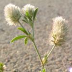 Hasen Klee Bluete Trifolium arvense 03