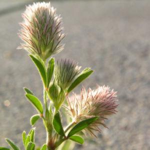 Hasen Klee Bluete Trifolium arvense 04