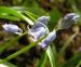 Zurück zum kompletten Bilderset Atlantisches Hasenglöckchen Blüte hellblau Hyacinthoides non-scripta