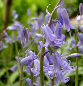 Hasengloeckchen Bluete hellblau Hyacinthoides non scripta 07
