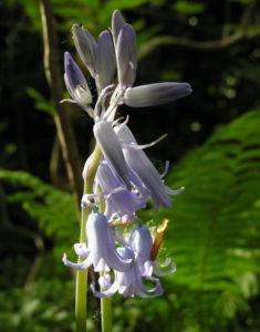 Hasengloeckchen Bluete hellblau Hyacinthoides non scripta 09