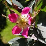 Hecht Rose Bluete Rosa glauca 02