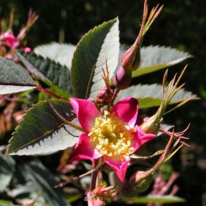 Hecht Rose Bluete Rosa glauca 03