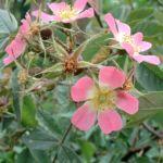 Hecht Rose Rosa glauca 02