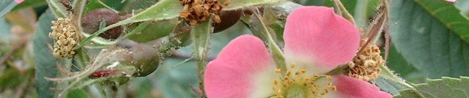 Anklicken um das ganze Bild zu sehen Rotblatt-Rose Blüte rosa Rosa glauca