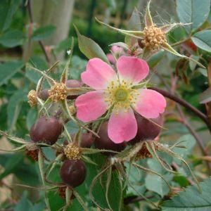 Hecht Rose Rosa glauca 03
