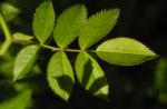 Hecken Rose Blatt gruen Rosa corymbifera 06