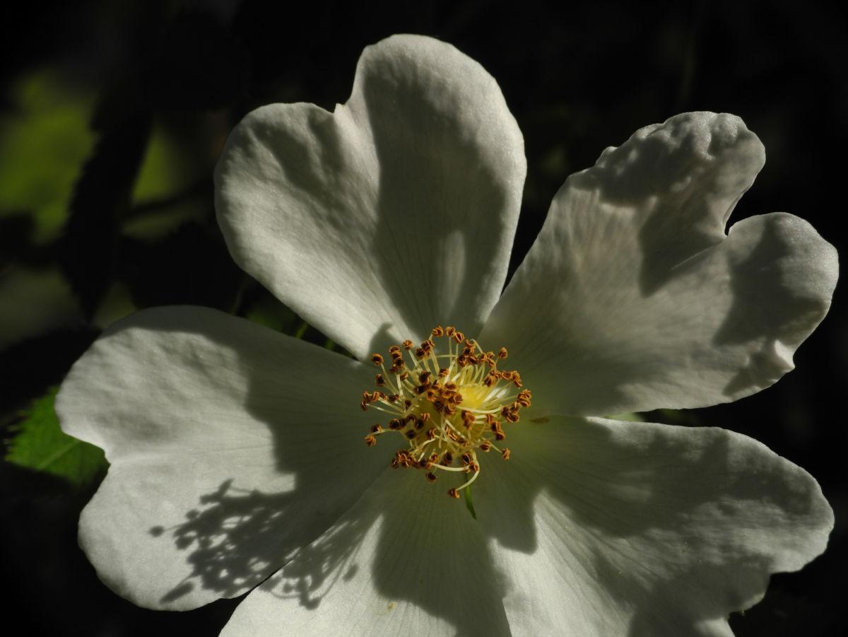 Hecken Rose Bluete weiss Rosa corymbifera
