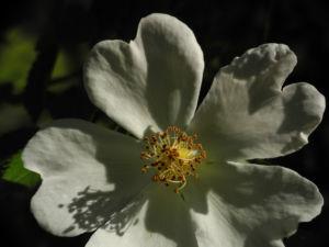 Hecken Rose Bluete weiss Rosa corymbifera 03